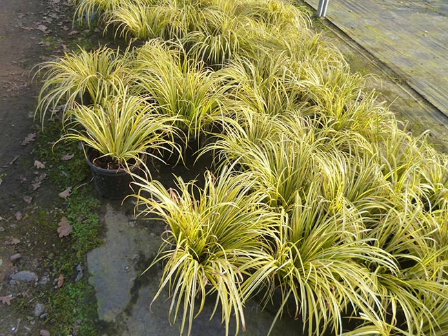 Ornamental-Grasses